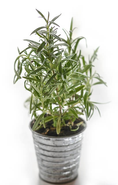 How to grow Rosemary in pots