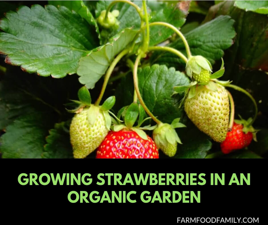How to grow strawberries in an organic garden
