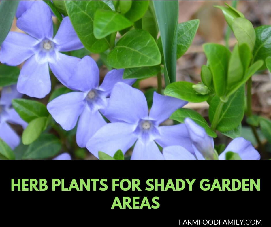 Herb Plants for Shady Garden Areas: Garden Herbs that Grow in the Shade