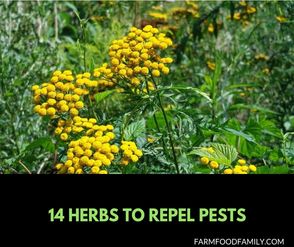 14 best companion planting herbs to repel pests