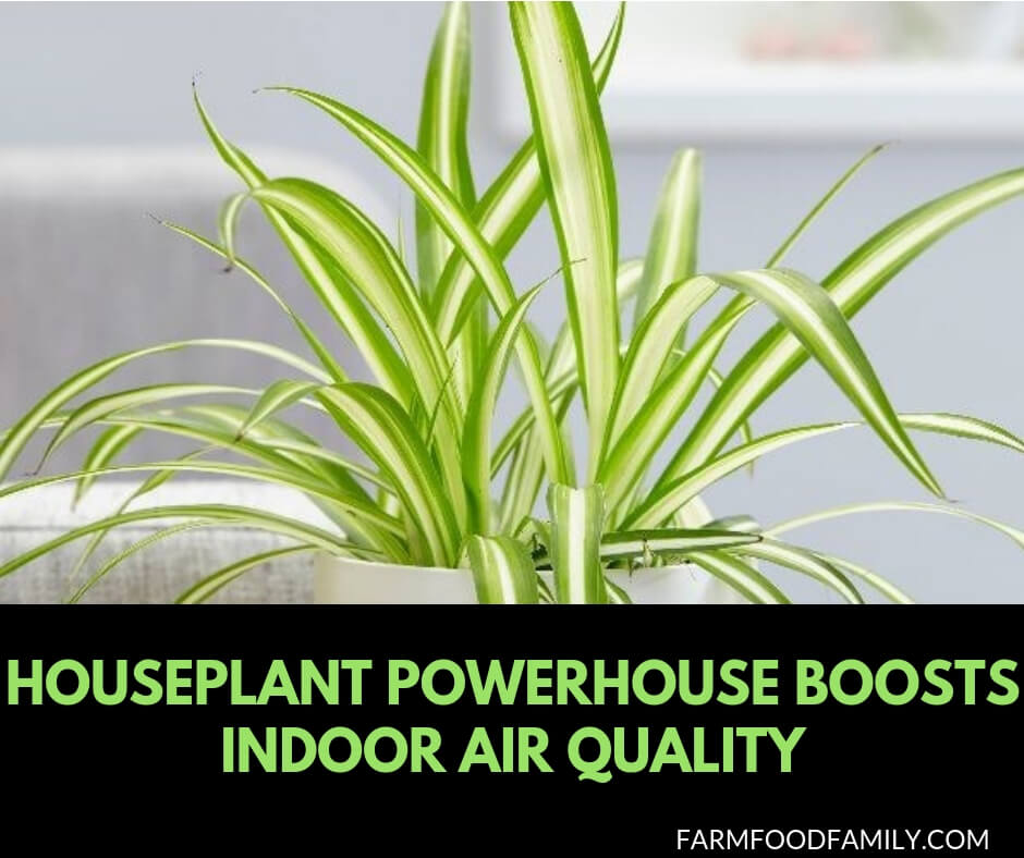 Houseplant powerhouse boosts indoor air quality