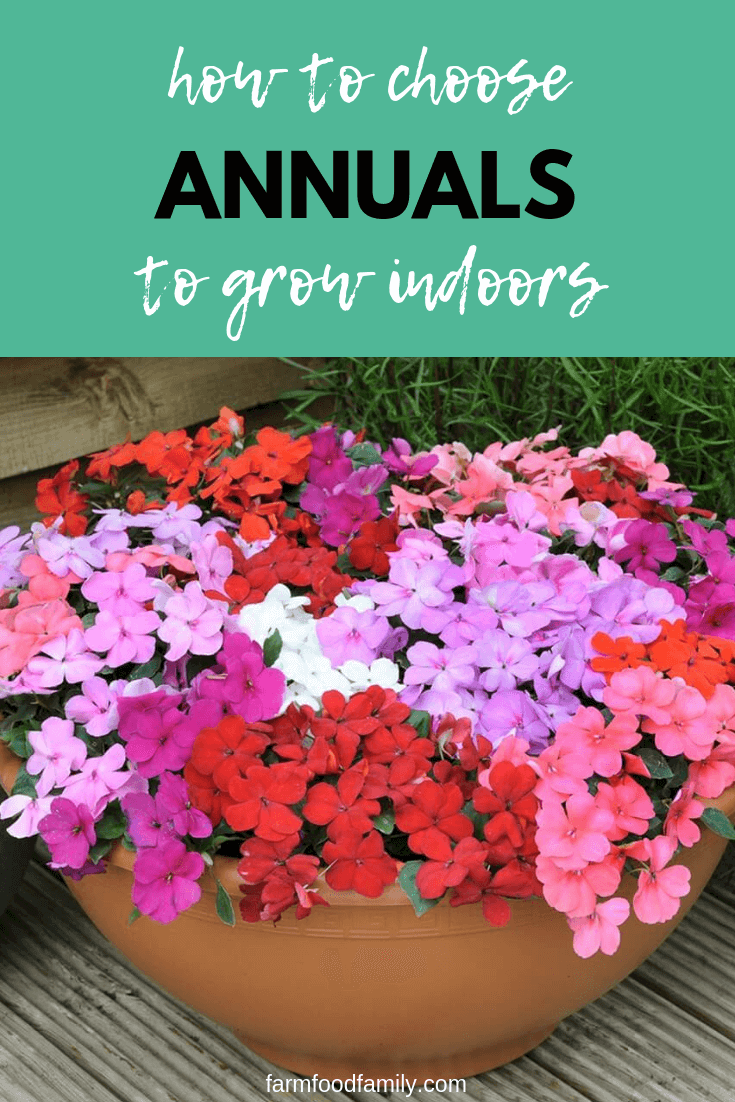 How to choose annuals to grow indoors