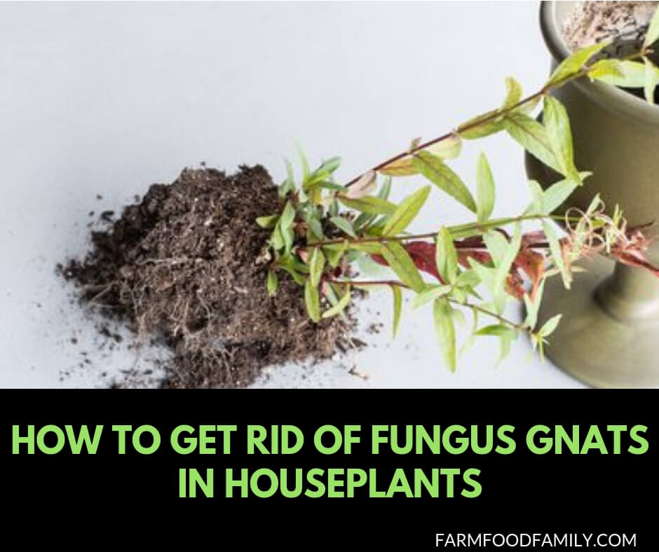 How To Get Rid Of Fungus Gnats In Houseplants And GreenHouses
