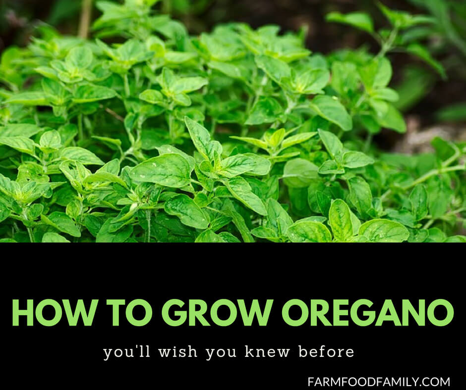 Growing Oregano from seeds