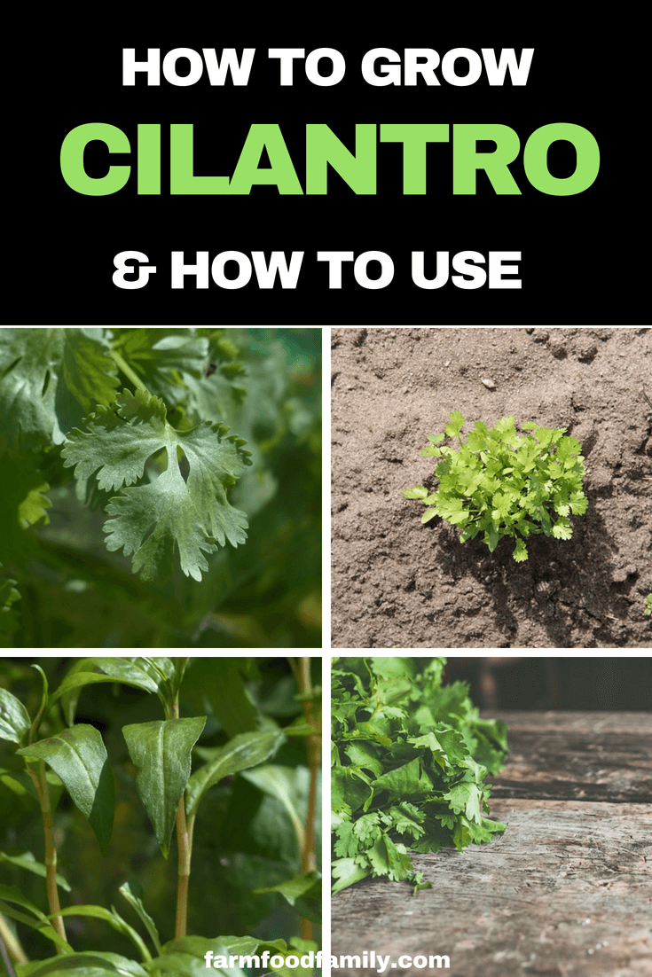 How to grow Cilantro from seeds at home