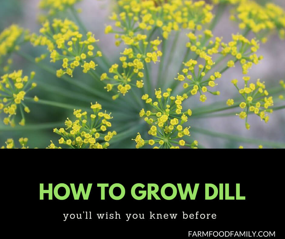 How to grow Dill from seeds