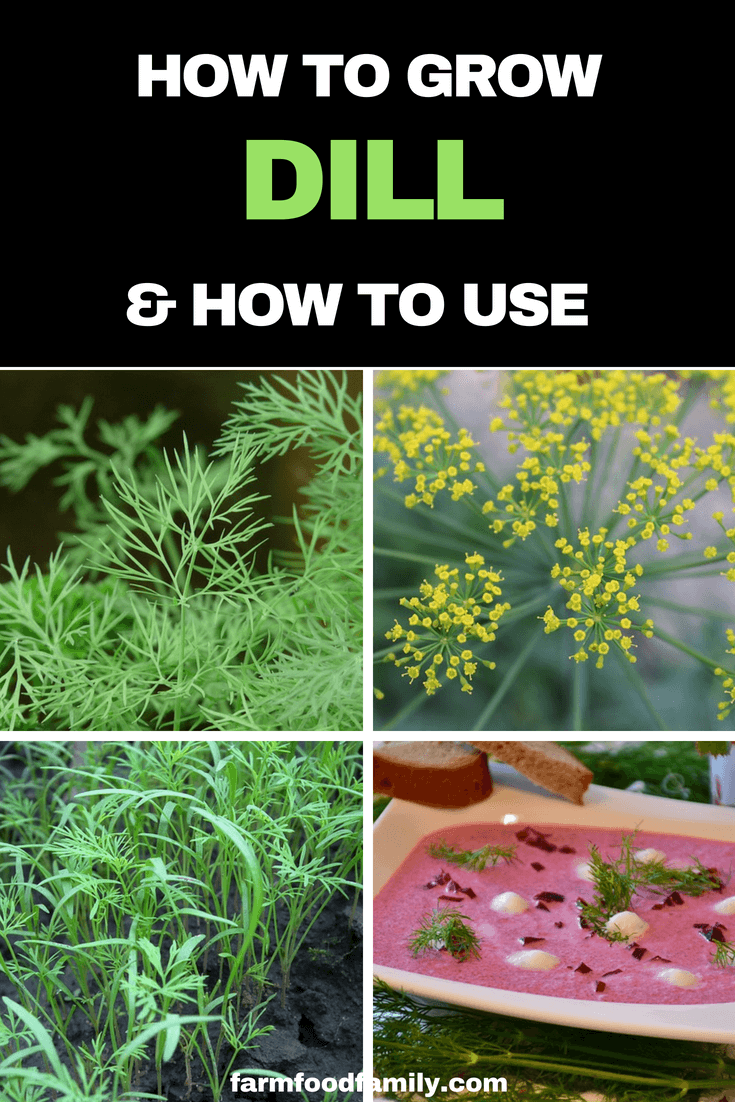 How to grow Dill from seeds at home