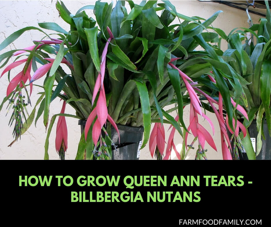 How to Grow Queen Ann Tears - Billbergia Nutans