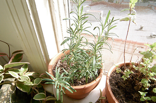 How to grow rosemary indoors