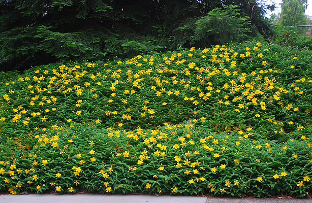 Hypericum calycinum | Shrubs to Grow in Dry Shade