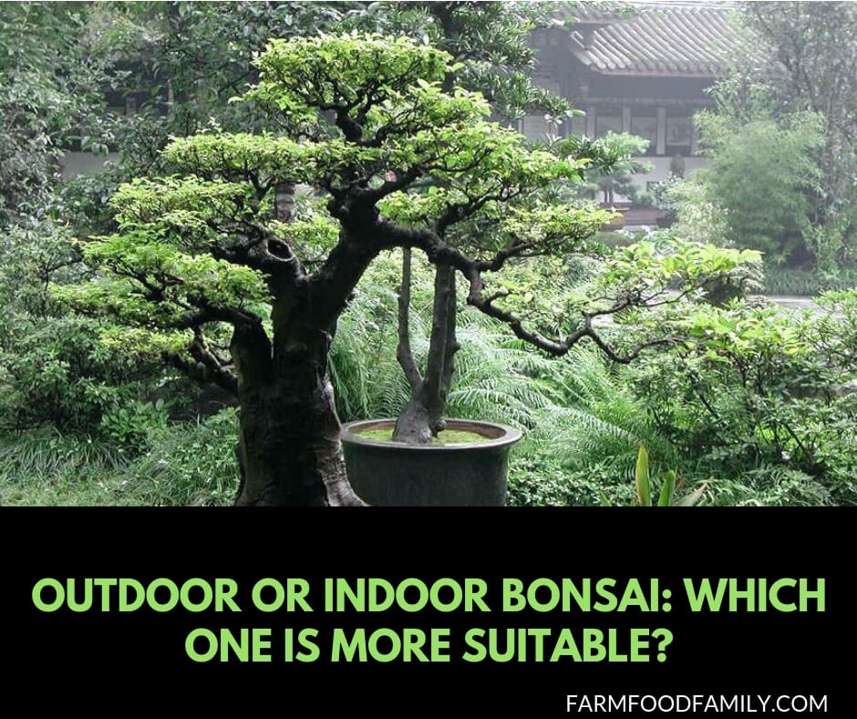 Indoor or outdoor bonsai: Which one is more suitable?