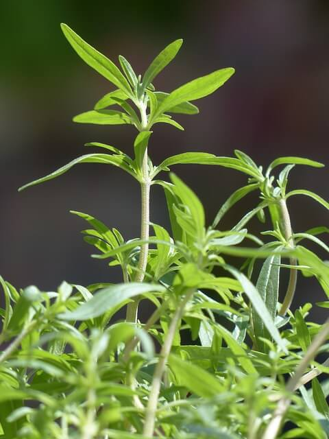 Savory plant - The savory herb will assist in keeping bean beetles, cabbage moths, and aphids away