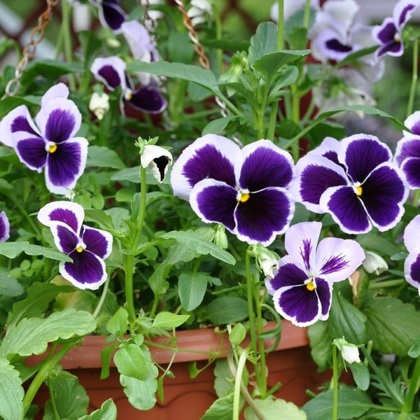 Pansy | Winter Flower Garden Indoors: Blooming Plants to Grow In the House during Cold Weather Months | FarmFoodFamily.com