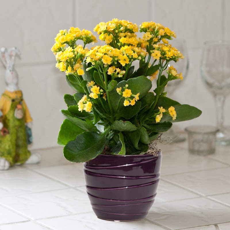 Kalanchoe | Winter Flower Garden Indoors: Blooming Plants to Grow In the House during Cold Weather Months | FarmFoodFamily.com