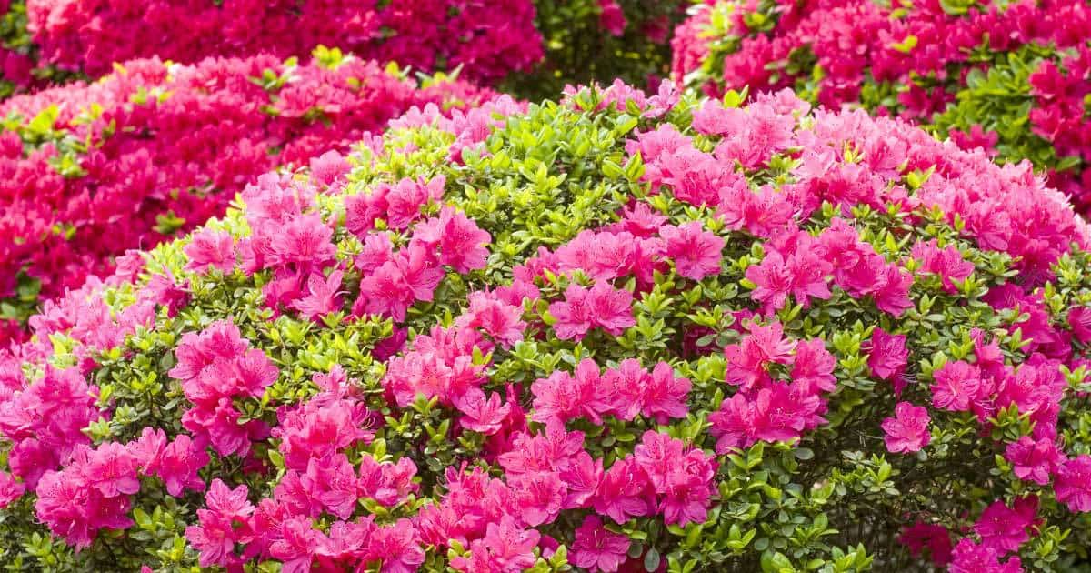 Azaleas | 10 the best butterfly attracting flowers