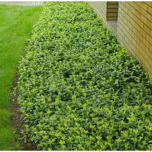 Japanese Spurge | Low-maintenance flowers and plants