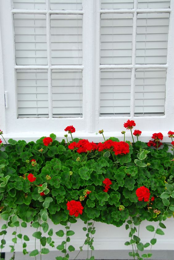 Red geraniums window box | Flower Garden Ideas for Containers and Windowboxes