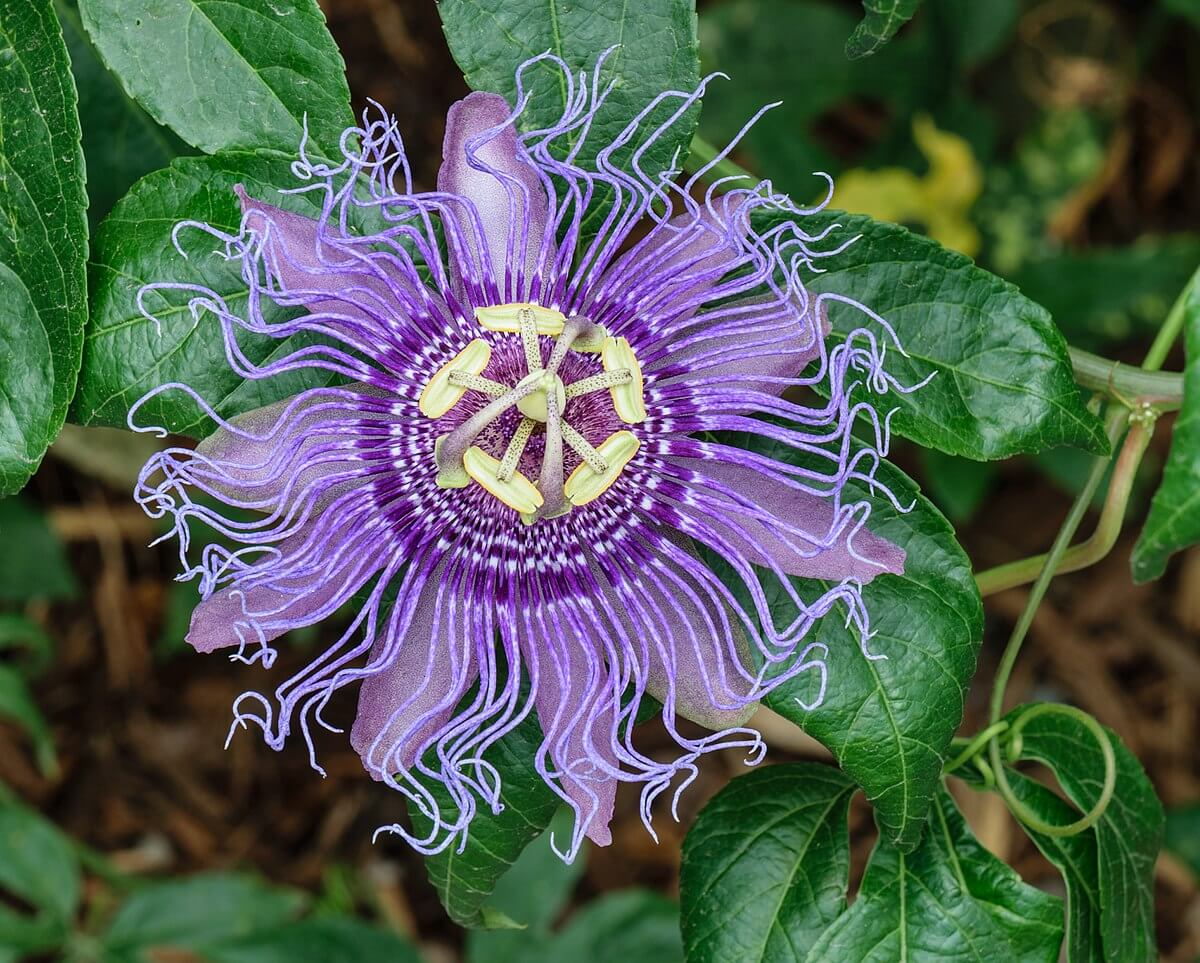 Passionflower | 10 the best butterfly attracting herbs
