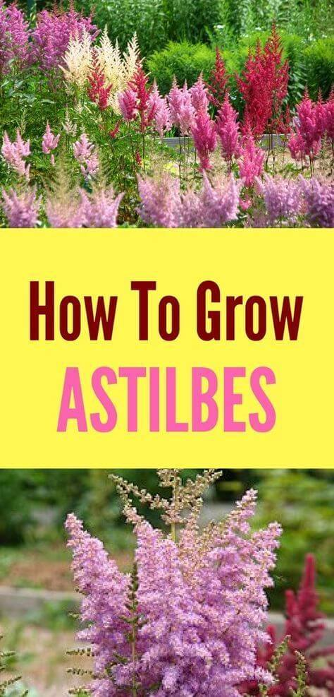 How to grow astilbes | Low-maintenance flowers and plants