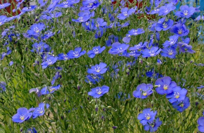 Blue Flax | Low-maintenance flowers and plants