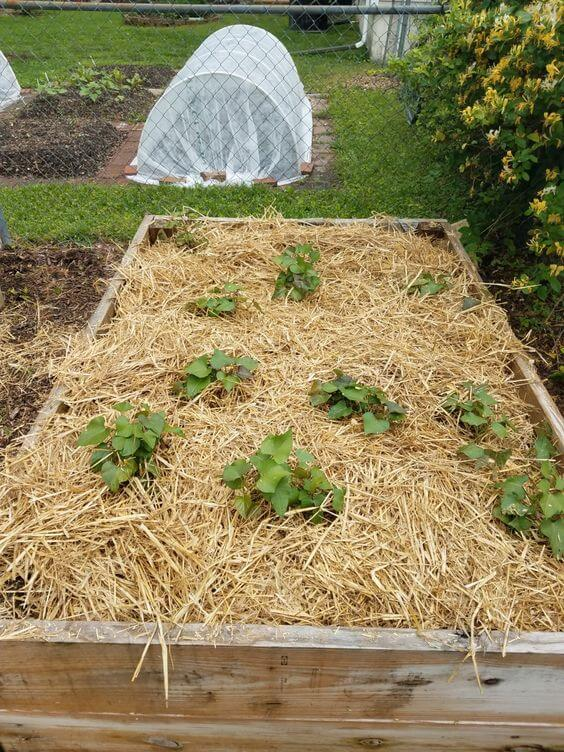 Sweet potatoes in raised bed | How to Build a Raised Vegetable Garden Bed | 39+ Simple & Cheap Raised Vegetable Garden Bed Ideas - farmfoodfamily.com
