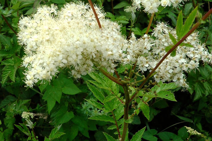 Meadowsweet | 10 the best butterfly attracting herbs