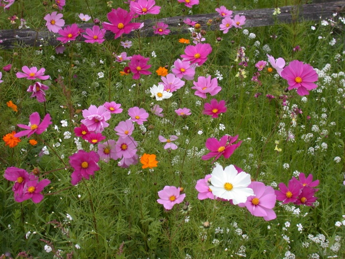 Cosmos | Low-maintenance flowers and plants