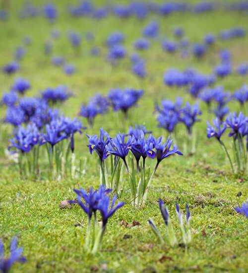Iris reticulata | Perennial Flowers All Season: Perennial Garden Design Guide for Blooms in Spring Summer and Fall