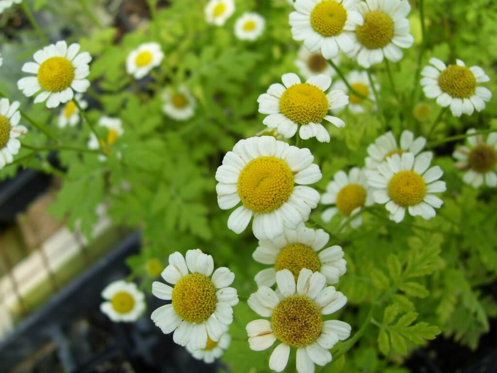 Fever Few | Low-maintenance flowers and plants