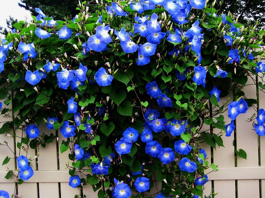 Morning Glory | Low-maintenance flowers and plants