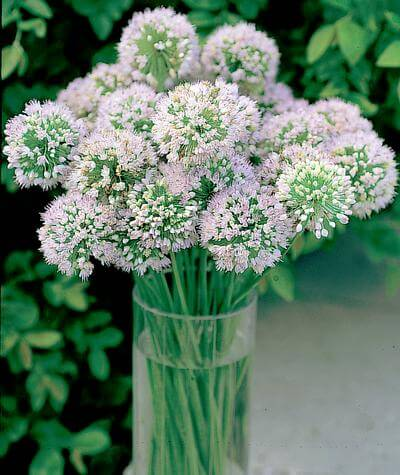 Allium Mongolian Gem | Alliums Deer Resistant Garden Flowers: Drought Tolerant Ornamental Onion Plants Deter Small Rodents