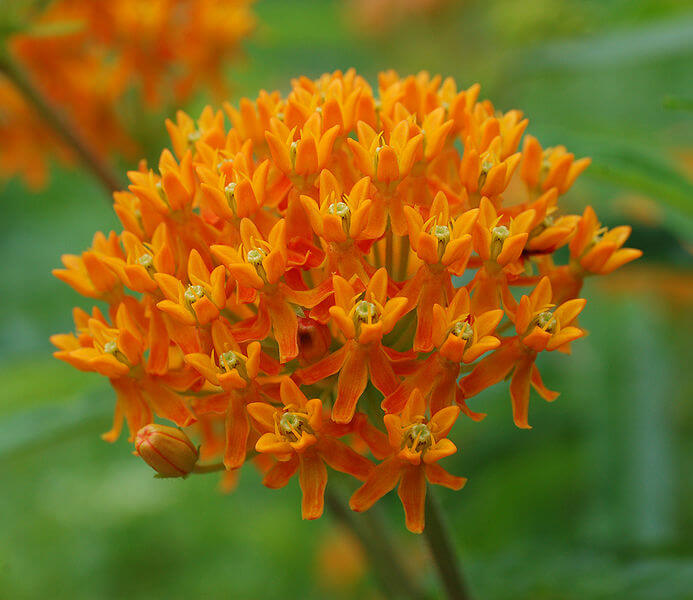 Asclepias tuberosa | Drought Tolerant Plants Attracting Pollinators: Try Xeriscape Gardening and Attract Bees Butterflies Hummingbirds