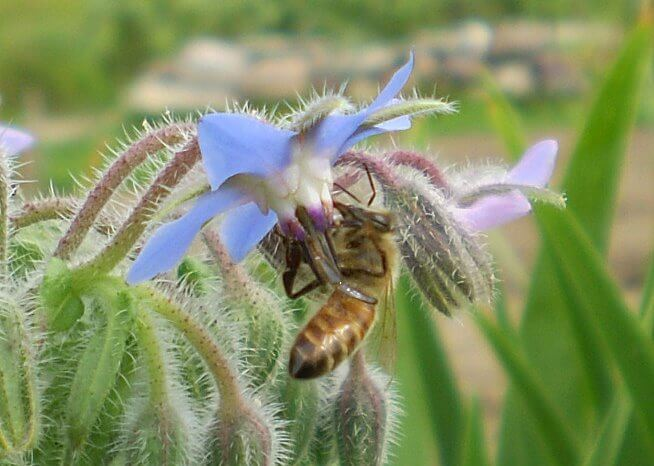 Borage | An Herb Butterfly And Bee Garden: Herb Gardening with a View Toward Attracting Insect Pollinators