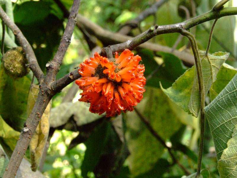 Paper Mulberry(Broussonetia papyrifera) | Top 10 Exotic Invasive Trees in theU.S - FarmFoodFamily.com