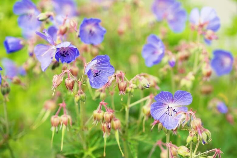 Cranesbill (Geranium) | Perennial Flowers All Season: Perennial Garden Design Guide for Blooms in Spring Summer and Fall