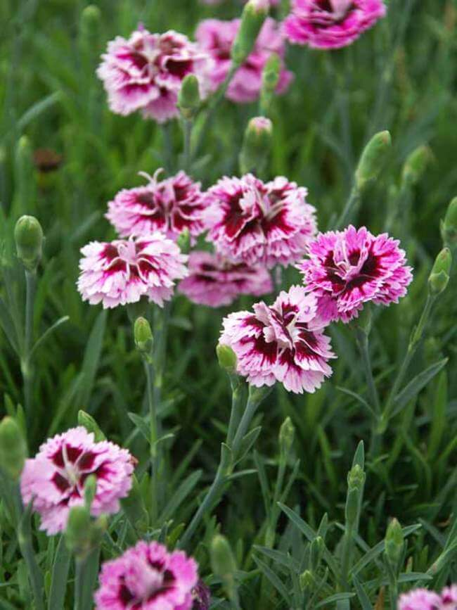 Dianthus | Perennial Flowers All Season: Perennial Garden Design Guide for Blooms in Spring Summer and Fall