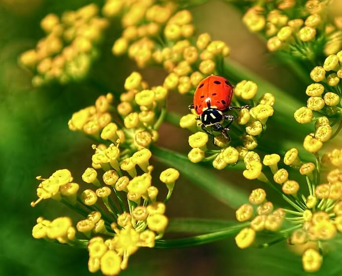 Dill | An Herb Butterfly And Bee Garden: Herb Gardening with a View Toward Attracting Insect Pollinators