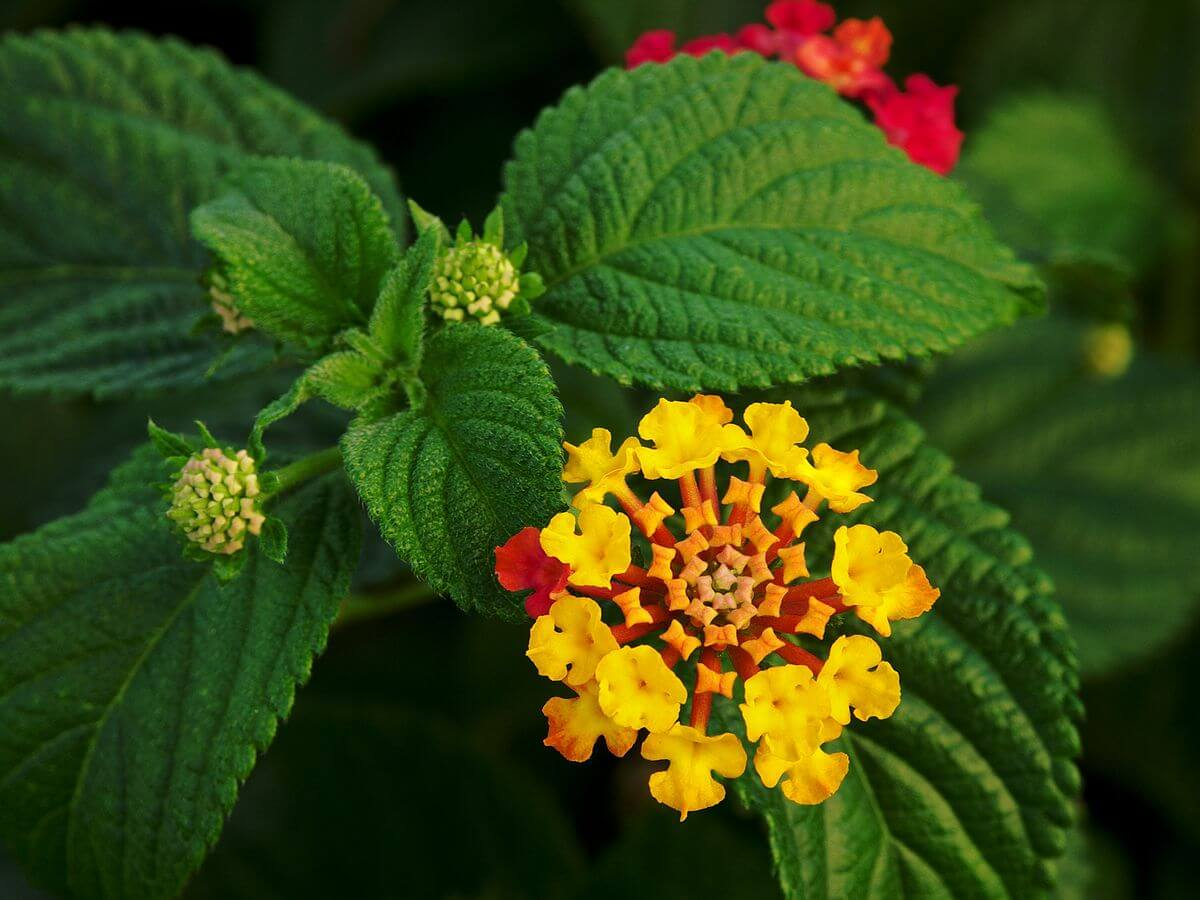 Lantana camara | Drought Tolerant Plants Attracting Pollinators: Try Xeriscape Gardening and Attract Bees Butterflies Hummingbirds