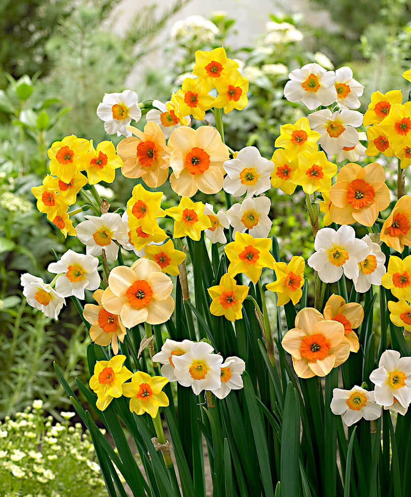 Narcissus jonquilla   Daffodil Bulb Ideas for Autumn Gardening: Fall Bulb Planting Brings Narcissus Spring Flowers