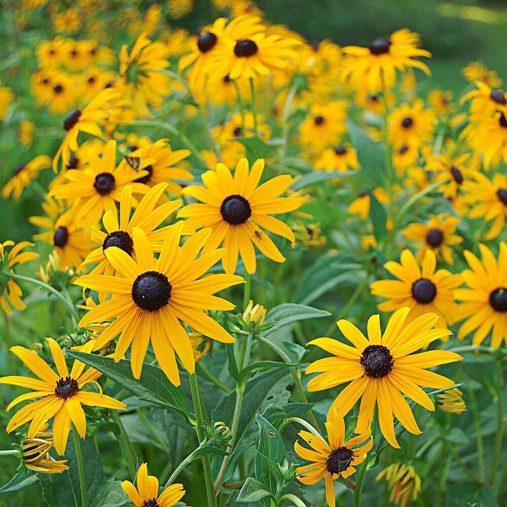 Rudbeckia | Fall Perennials for a Splendid Array of Flowers