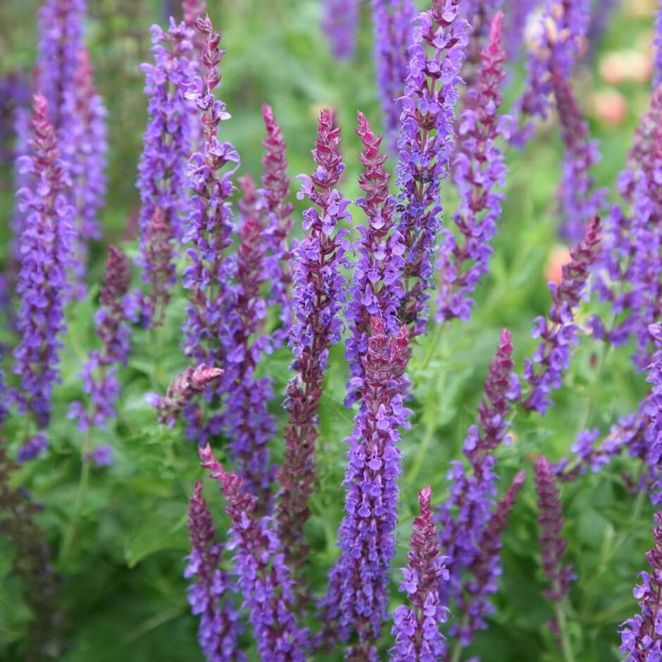 Salvia | Perennial Flowers All Season: Perennial Garden Design Guide for Blooms in Spring Summer and Fall
