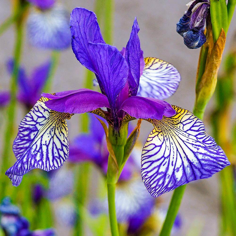 Siberian iris (Iris sibirica) | Perennial Flowers All Season: Perennial Garden Design Guide for Blooms in Spring Summer and Fall