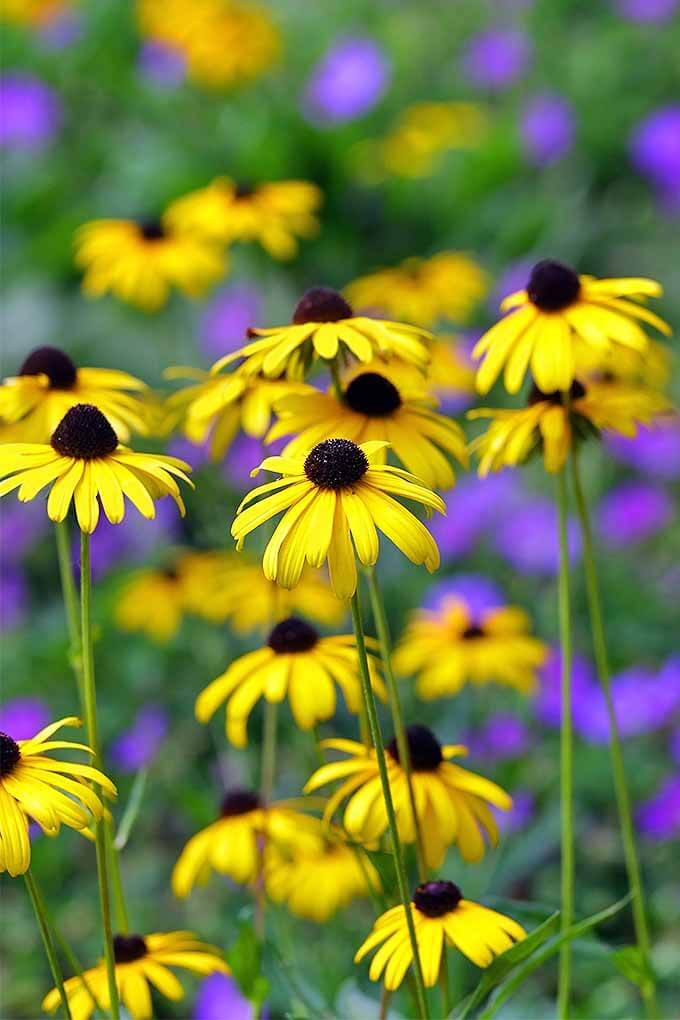 black eyed Susan (Rudbeckia) | Perennial Flowers All Season: Perennial Garden Design Guide for Blooms in Spring Summer and Fall