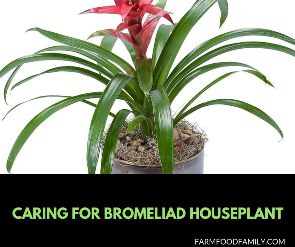 Caring for Bromeliad houseplant