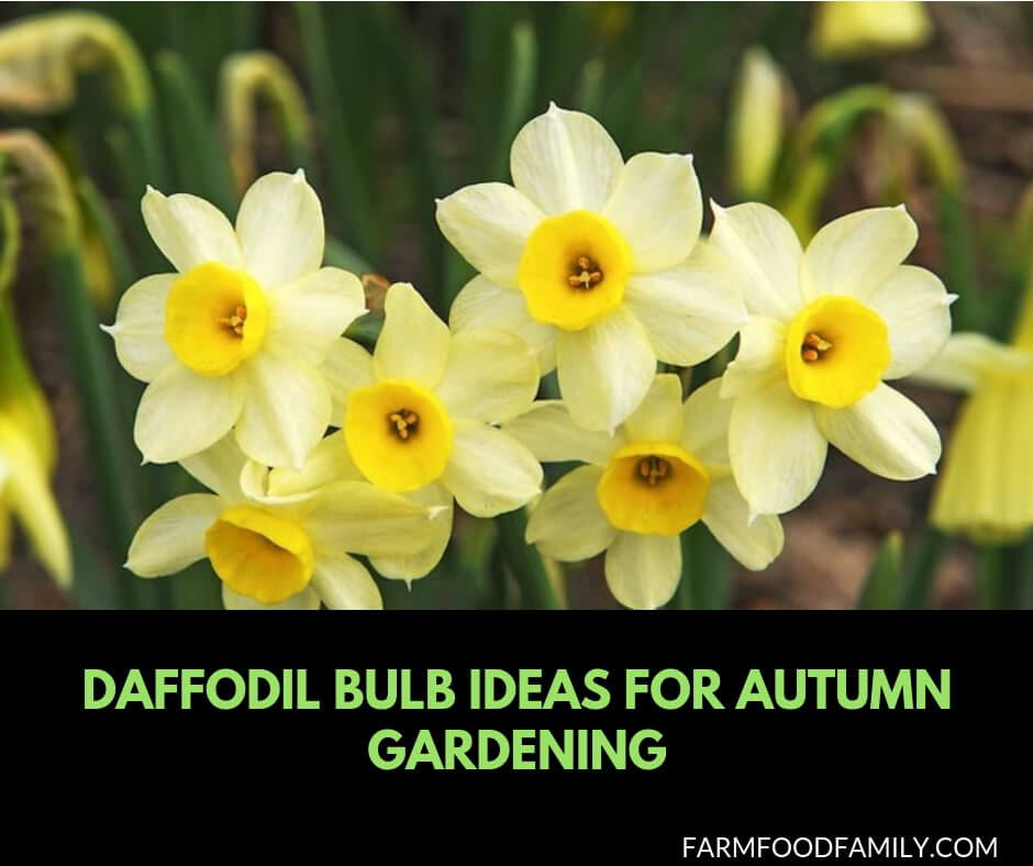 Daffodil Bulb Ideas for Autumn Gardening: Fall Bulb Planting Brings Narcissus Spring Flowers