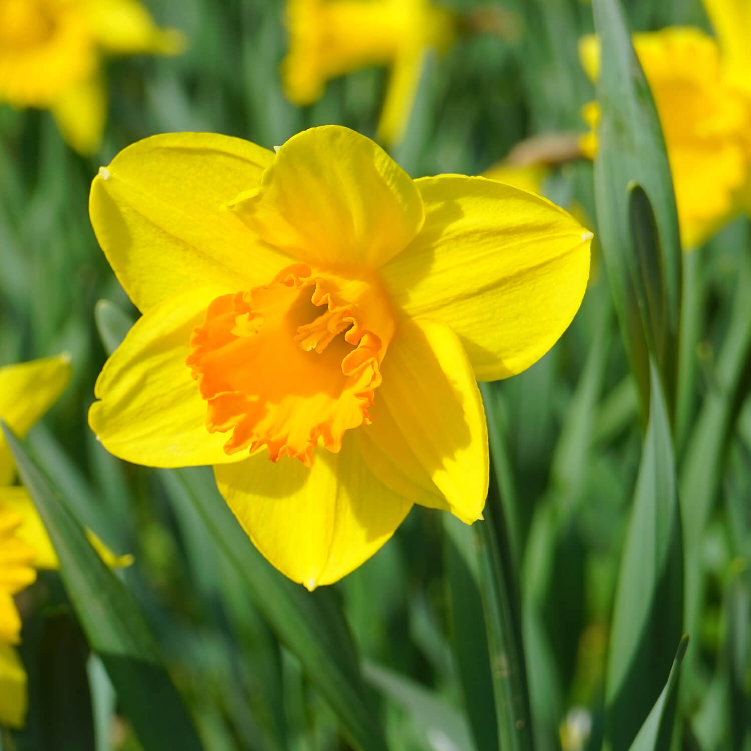 daffodils (Narcissus) | Perennial Flowers All Season: Perennial Garden Design Guide for Blooms in Spring Summer and Fall