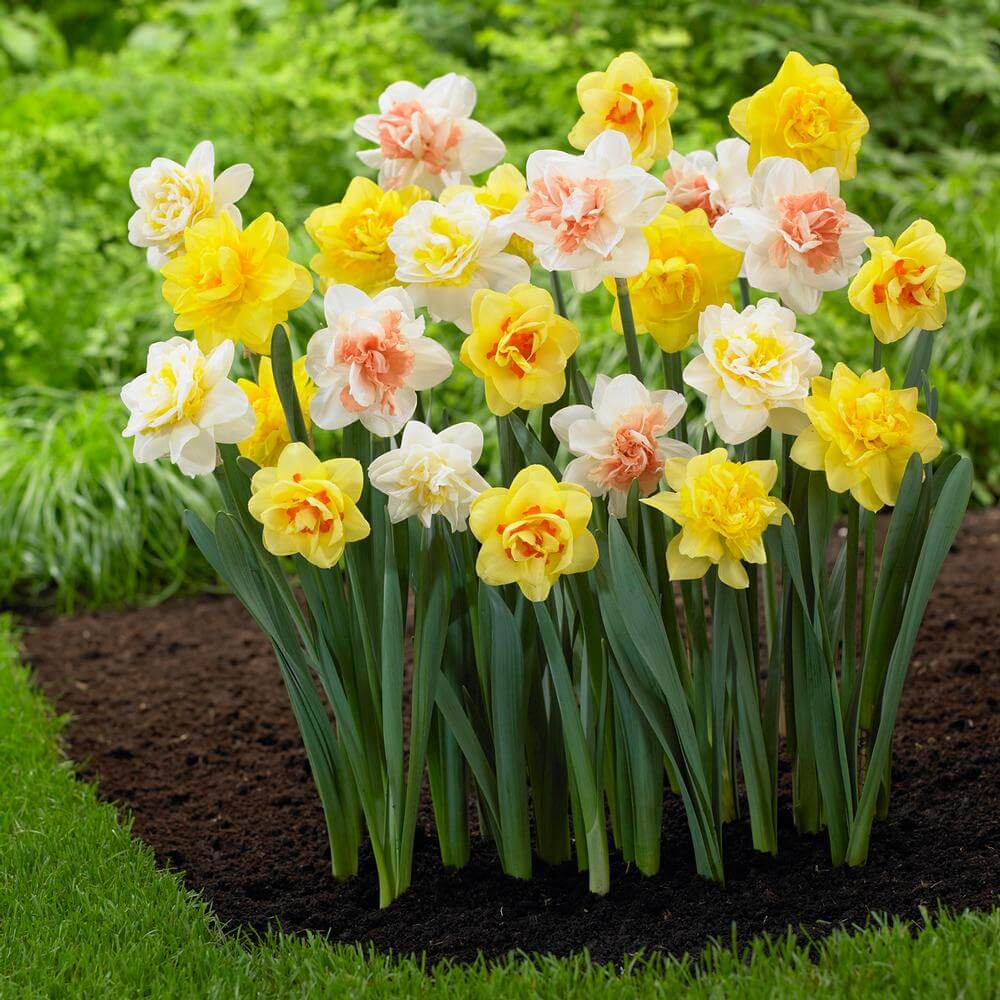 Narcissus   Daffodil Bulb Ideas for Autumn Gardening: Fall Bulb Planting Brings Narcissus Spring Flowers