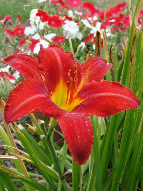 daylilies (Hemerocallis) | Perennial Flowers All Season: Perennial Garden Design Guide for Blooms in Spring Summer and Fall