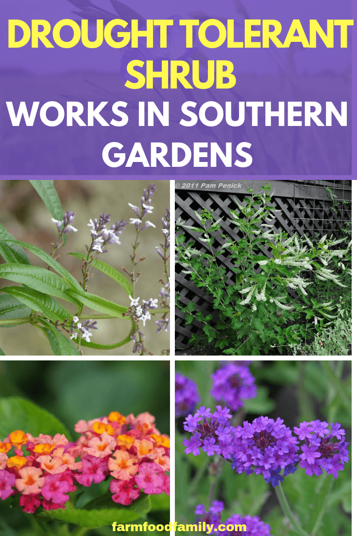 Drought Tolerant Shrub Works in Southern Gardens