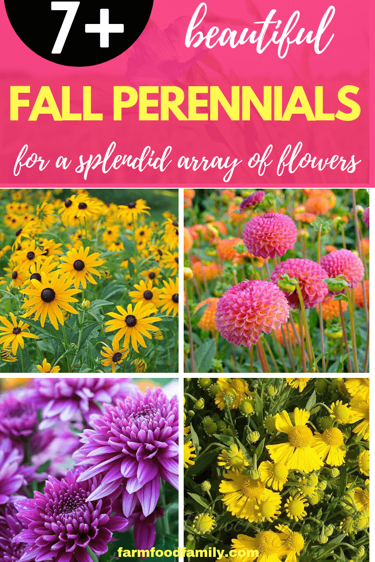 Fall Perennials for a Splendid Array of Flowers